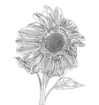 sunflower line drawing vector image
