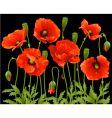 spring flowers poppy vector image