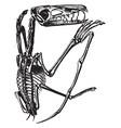 pterodactyl skeleton vintage vector image