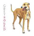 Greyhound dog breed vector image