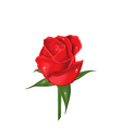 Close-up red rose isolated on white background vector image