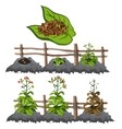 Growth stages of tobacco agriculture vector image