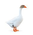 Goose farm animals vector image vector image