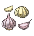 Garlic with slices isolated on white background vector image