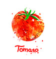 watercolor of tomato vector image