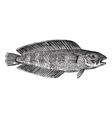 marine fish vintage engraving vector image