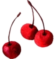 watercolor drawing cherries vector image