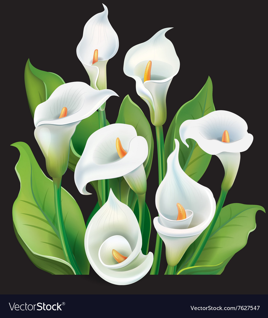 Bouquet of white calla lilies on black background vector