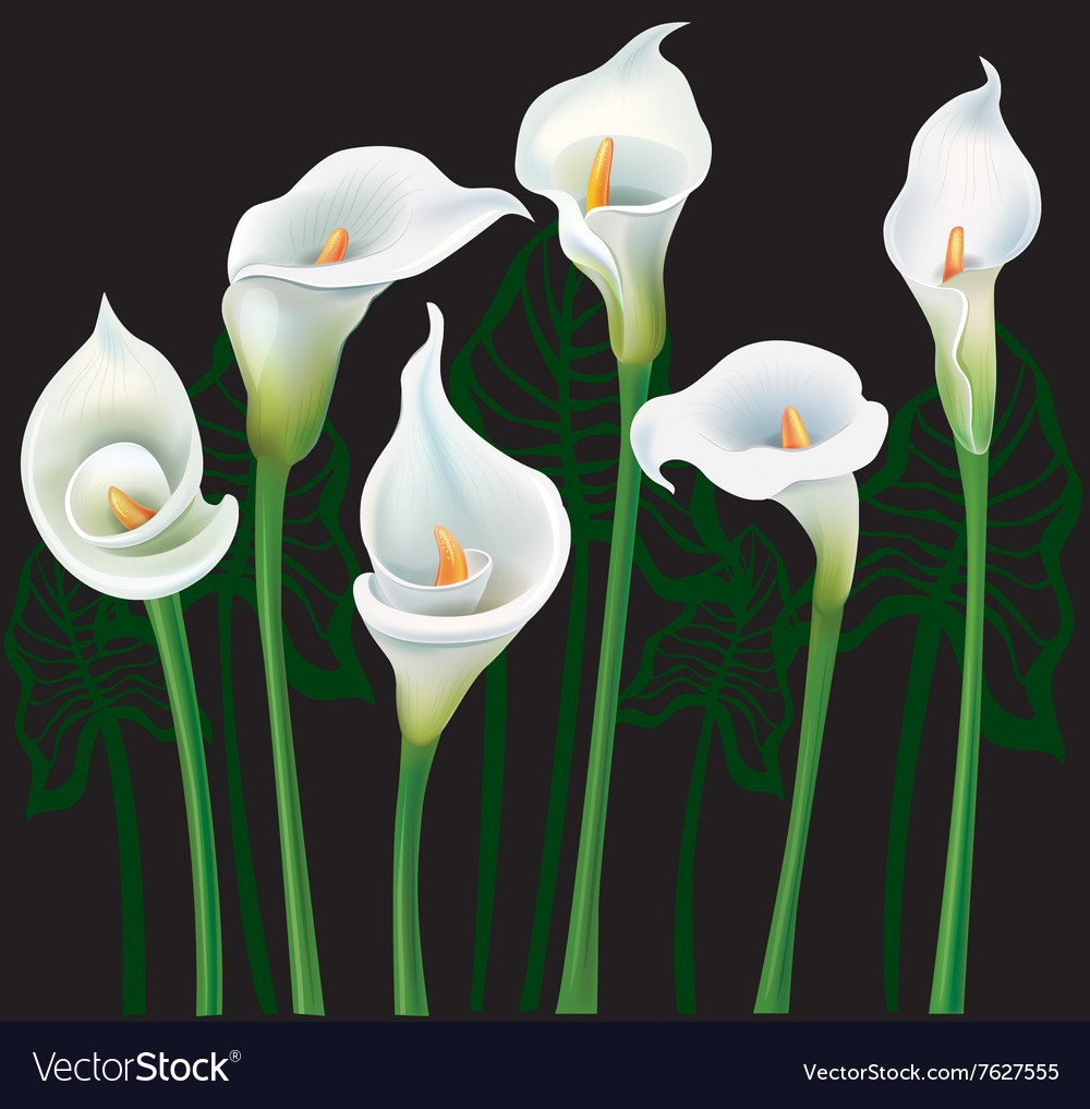 White calla lilies on black background vector