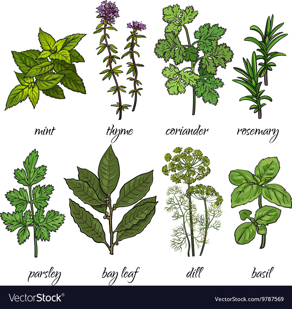 Set of rosemary mint thyme coriander parsley vector
