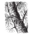 White Birch engraving vector image vector image