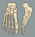 foot bones vector image