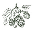 outline sketch of hops branch vector image