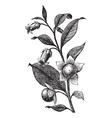 Belladona vintage engraving vector image vector image