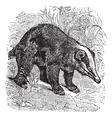 Hog Badger vintage engraving vector image vector image