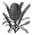 Showy Banksia vintage engraving vector image vector image