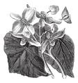 Begonia flower vintage engraving vector image