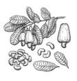 cashew big set vector image