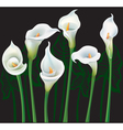 White Calla lilies on black background vector image vector image