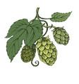 sketch hops branch on green tones vector image
