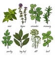 Set of rosemary mint thyme coriander parsley vector image