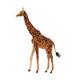 giraffe animal herbivore african wildlife vector image