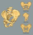 pelvic girdle anatomy vector image