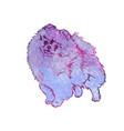 dog breed pomeranian spitz vector image