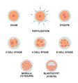 Development of the human embryo vector image