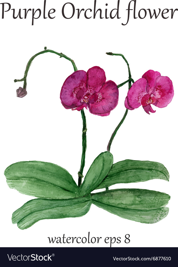Purple orchid watercolor flower vector