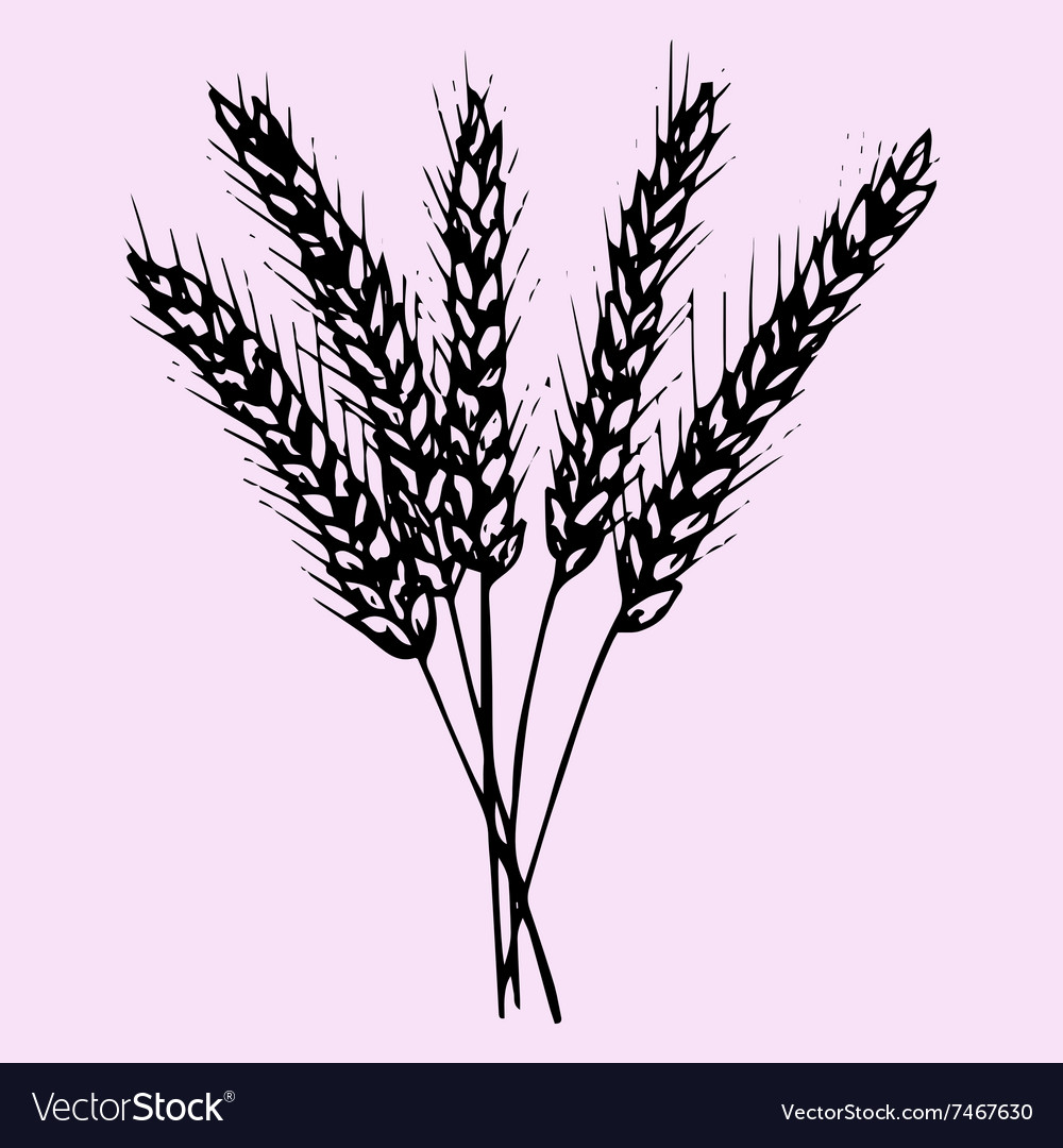 Spikelet grains wheat vector
