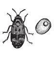 beetle vintage engraving vector image