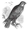 Common Buzzard raptor engraving vector image vector image