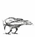 Crows Pen Drawing vector image