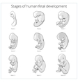 Stages of human fetal development schematic vector image