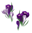 crocus flower vector image