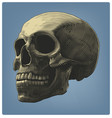 human skull in engraving style vector image vector image