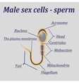Diagram of the male sex cells - sperm vector image