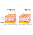 Collagen and elastin skin aging vector image