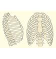 human rib cage vector image