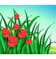 A garden with beautiful red roses vector image vector image
