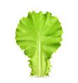 Fresh green leaf lettuce vector image
