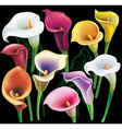 Calla flowers set in different colors vector image