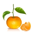 Fresh tangerine fruits with green leaves vector image