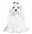 Maltese dog vector image vector image