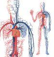 circulation of blood vector image