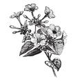 Four o Clock Flower vintage engraving vector image