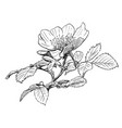hand drawing of wild rose branch with blooming vector image