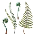 Watercolor fern leaves vector image