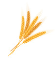 realistic isolated bundle of wheat ears vector image